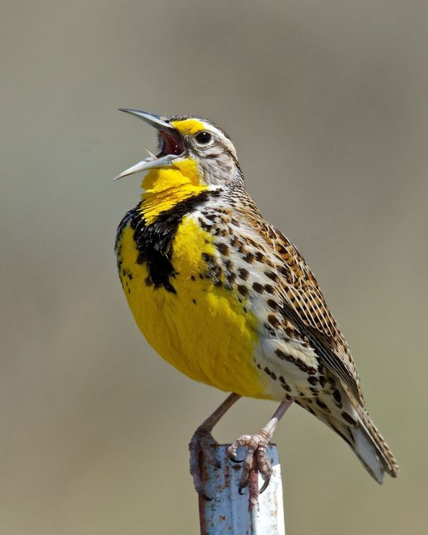 Western Meadowlark singing (photo by Jack McLaren)