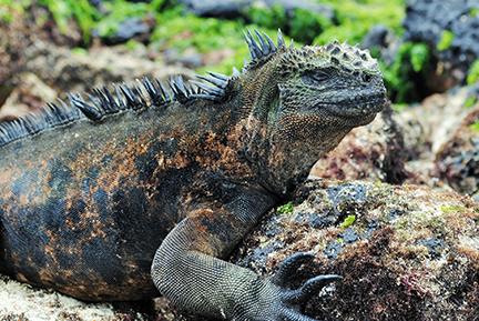 Galapagoslizardbysophiachau