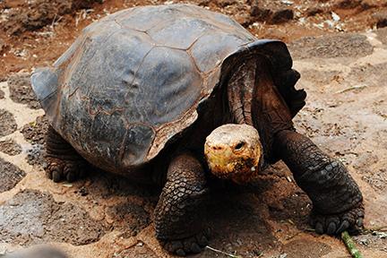 Galapagostortoisebysophiachau