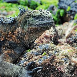 Galapagoslizardbysophiachau 250