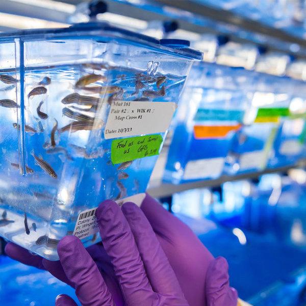 Stem Cells Zebrafish 700