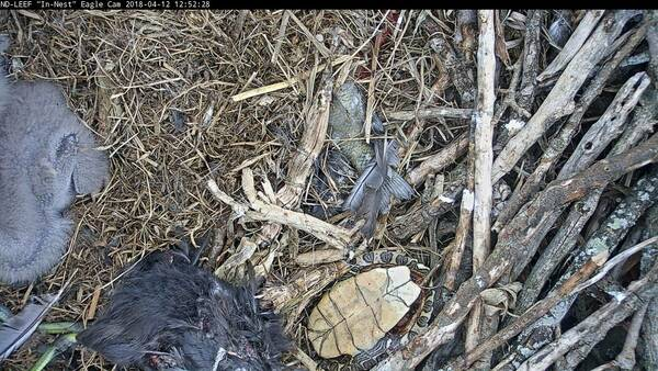Eagle nest with turtle